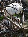 Snowy egret with chicks by Bonnie Gruenberg.jpg