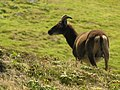 Soay sheep Lundy 1.jpg