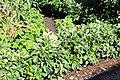 Sofiero (Helsingborg), garden, apple trees as little bushes-1.JPG