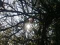 Soleil à travers les branches d'un prunier à Grez-Doiceau 001.jpg