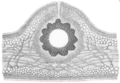 Soleria chordalis.png