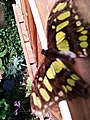 Sommerfugl, Bornholms Sommerfuglepark 10.jpg