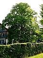Sommerlinde Altaussee 63.jpg
