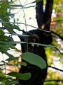 Sophora japonica var. pendula (9).JPG