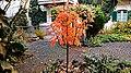 Sorbus Herbstlaub 01.jpg