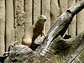 Souslik Argelès-Gazost parc animalier (5).JPG
