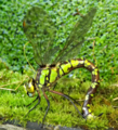 Southern hawker ovipositing.png