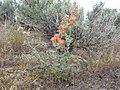 Sphaeralcea munroana (8718440822).jpg
