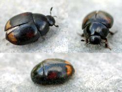 Sphaeridium scarabaeoides wikispecies - Petit insecte marron maison ...