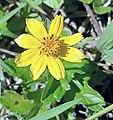 Sphagneticola trilobata (Asteraceae) 07.jpg