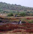 Spheniscus magellanicus on Carcass Island.jpg