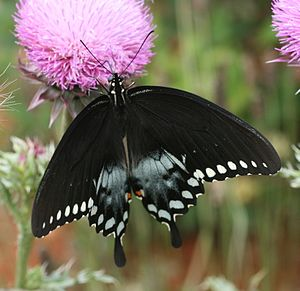 Lindera benzoin - Male spicebush swallowtail nectaring on a thistle