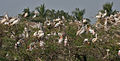 Spot-billed Pelicans & Painted Storks nesting at Garapadu, AP W IMG 5166.jpg