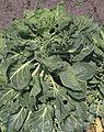 Spruitkool (1).jpg
