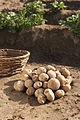 Stärkekartoffel Amflora 6.jpg