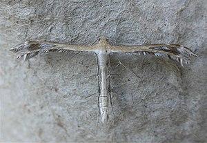 Pterophoridae - Stangeia xerodes (Pterophorinae: Oxyptilini)