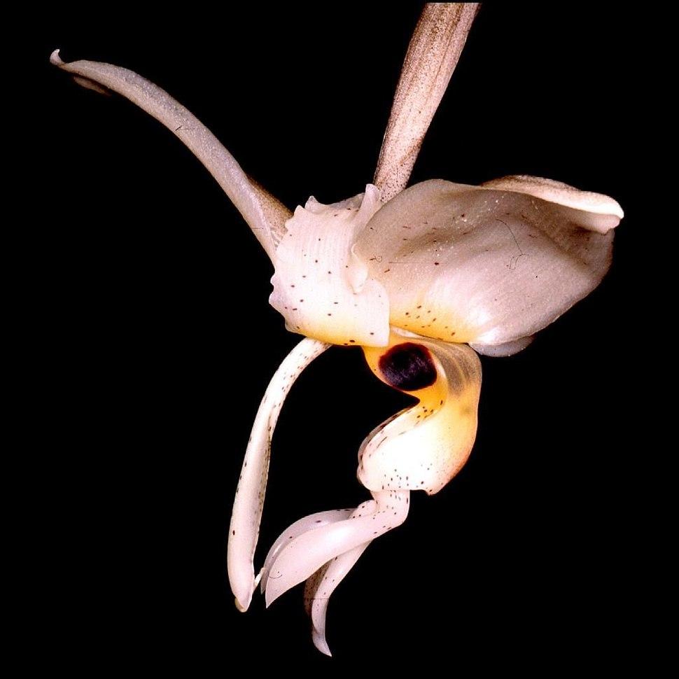 Stanhopea nigripes Orchi 002