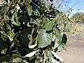 Starr-010304-0486-Tectona grandis-leaves-Kihei-Maui (24449661191).jpg