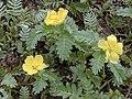 Starr-010520-0058-Tribulus cistoides-flowers and leaves-Near coast-Kure Atoll (24237199690).jpg