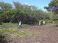 Starr-040127-0004-Schinus terebinthifolius-trimmed up-Kanaha Beach-Maui (24329874379).jpg