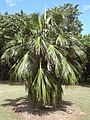 Starr-040318-0042-Pritchardia munroi-habit-Maui Nui Botanical Garden-Maui (24072760763).jpg