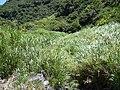 Starr-040518-0072-Cenchrus purpureus-habit-Kalepa-Maui (24335038329).jpg