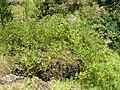 Starr-050817-3884-Rubus niveus-form b habit-Keahuaiwi Gulch-Maui (24174182034).jpg