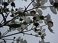 Starr-081230-0661-Montanoa hibiscifolia-flowers undersides-Upper Kaulana-Kahoolawe (24631771770).jpg