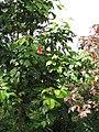 Starr-090617-0829-Sandoricum koetjape-habit-Ulumalu Haiku-Maui (24593053609).jpg