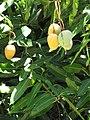 Starr-090709-2548-Mangifera indica-fruit and leaves-Lahaina-Maui (24942992336).jpg