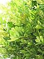 Starr-090806-3967-Cupaniopsis anacardioides-leaves-Wailuku-Maui (24344826183).jpg