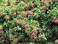 Starr-090813-4166-Quisqualis indica-flowering habit-Kahului-Maui (24878711001).jpg