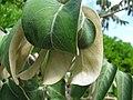 Starr-091104-0699-Polyscias racemosa-leaves-Kahanu Gardens NTBG Kaeleku Hana-Maui (24691765430).jpg