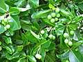 Starr-091104-0805-Calophyllum inophyllum-leaves and fruit-Kahanu Gardens NTBG Kaeleku Hana-Maui (24987631105).jpg