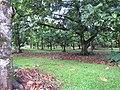 Starr-091104-8767-Artocarpus altilis-grove-Kahanu Gardens NTBG Kaeleku Hana-Maui (24357428324).jpg