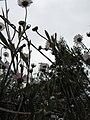 Starr-100401-4298-Erigeron karvinskianus-flowers-Polipoli-Maui (24659844919).jpg