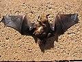 Starr-100907-9070-Eucalyptus sp-habitat with Hawaiian hoary bat Lasiurus cinereus semotus-Olinda-Maui (25051409145).jpg