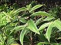 Starr-110215-1157-Costus speciosus-leaves-KiHana Nursery Kihei-Maui (24708080919).jpg