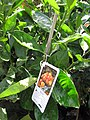 Starr-110215-1201-Citrus sinensis-habit with label-KiHana Nursery Kihei-Maui (24780222810).jpg