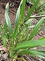 Starr-110411-5032-Dianella sandwicensis-flowering and fruiting habit form lavarum-Hawea Pl Olinda-Maui (25082637495).jpg