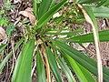 Starr-110411-5035-Dianella sandwicensis-flowers form lavarum-Hawea Pl Olinda-Maui (25082641225).jpg
