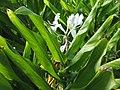 Starr-121031-0480-Hedychium coronarium-flowers and leaves-Waikamoi Flume Rd-Maui (25194992205).jpg