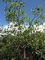 Starr-130703-5579-Rhizophora mangle-leaves-Kealia Pond-Maui (24592603983).jpg