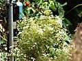 Starr-130719-0042-Coriandrum sativum-flowers-Hawea Pl Olinda-Maui (25194668306).jpg