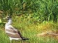 Starr-130911-0935-Cyperus laevigatus-habit with juvenile Masked Booby-Lake-Laysan (24596328373).jpg