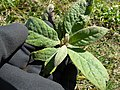 Starr-150401-0414-Pluchea carolinensis-seedling-West Beach Sand Island-Midway Atoll (24646057323).jpg