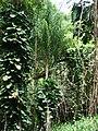 Starr-180421-0964-Syagrus romanzoffiana-habit-Honolua Lipoa Point-Maui (42555242615).jpg