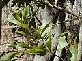 Starr 031013-0029 Acacia auriculiformis.jpg