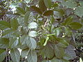 Starr 031108-2072 Bischofia javanica.jpg