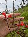 Starr 040327-0009 Salvia coccinea.jpg